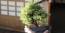 bonsai / bonsai -real sized and miniature