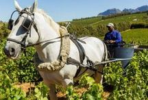 Sustainable Wineries in South Africa - Organic & Biodynamic Wines / The farms on this tour are fully organic or biodynamic and promote sustainable farming practices in South Africa. Visit this tour at http://exploresideways.co.za/product/organic-biodynamic-wine-tour
