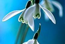 Galanthus, snowdrops