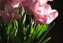 Tulipa, tulp, tulip