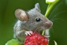 A mouse is a muis is a souris