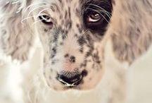 Chiens / les plus beaux chiens