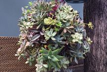 For the love of succulents, the living wall-Hanging plants /  Hanging plants are making a comeback with good reasons. The increase in city living and the popularity of high rise residential buildings just means smaller outdoor spaces.  Succulent hanging plants are good in that they are easy to maintain and don't take up so much of living space.