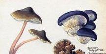 Cogumelos Ilustrações. / O cogumelo já era usado para tratar doenças inflamatórias, no estômago e neurais, por volta do século 7, pelos chineses. O fungo foi mencionado pela primeira vez em 1798, pelo cientista britânico Étienne Pierre Ventenat.