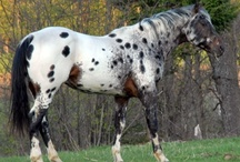 colours - appaloosa patterns / Various white patterns caused by the presence of leopard gene complex.