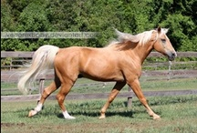 colours - single cream dilutes / Cream gene is an incomplete dominant dilution gene; in heterozygous horses it influences red pigment more than black. There are three main colours: smoky black (black + single cream gene), buckskin (bay/brown + single cream gene) and palomino (chestnut + single cream gene).
