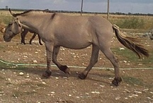 mules and other equine hybrids