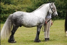Fell Pony / country of origin - England | average height 137-142 cm | colours - black, bay/brown, grey | uses - general riding, trekking, show pony, driving