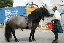 Highland Pony / country of origin - Scotland | average height 132-147 cm | colour - black, bay/brown, chestnut, grey, dilutes (dun, rarely silver) | uses - general riding, light agriculture work, trekking, pack horse