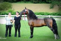 Morgan Horse / country of origin - USA | average height 145-157 cm | colours - black, bay/brown, chestnut, grey, dilutes (cream, dun, silver), pinto patterns (sabino, frame overo, splash white), roan pattern | uses - general riding, dressage, show jumping, endurance, Western riding, driving, show horse