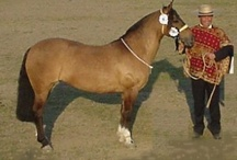 Chilean Horse / country of origin - Chile | average height 137-147 cm | colours - black, bay/brown, chestnut, grey, dilutes (single cream, possibly also dun) | uses - cattle and ranch horse, rodeo