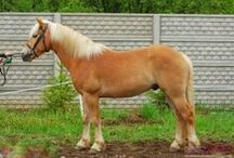 Haflinger / country of origin - Austria | average height 137-152 cm | colours - flaxen light to medium chestnut | uses - draft and pack work, light harness and combined driving, general riding, trail, endurance, dressage, show jumping, vaulting, therapeutic riding