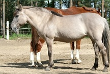 Konik / country of origin - Poland | average height 130-140 cm | colours - grullo (black + dun dilution); other colours (e.g. black or red dun) may occur but are unacceptable | uses - general riding, trekking, driving, light draught work, therapeutic animals