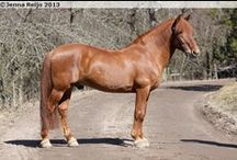 Finnhorse / country of origin - Finland | average height ca. 155 cm (under 147 cm for pony type) | colours - predominantly chestnut, bay/brown, black, rarely dilutes (dun, cream, silver), grey, pinto patterns (sabino, splash white) | uses - harness racing, dressage, show jumping, eventing, endurance, driving