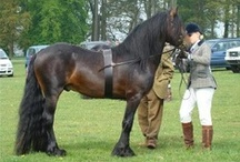 Dales Pony / country of origin - England | average height 142-147 cm | colours - black, bay/brown, grey | uses -  show jumping, cross-country, dressage, driving, eventing, endurance, trekking, general riding