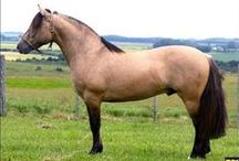 Criollo / country of origin - Argentina, Colombia, Paraguay, Uruguay, Brazil | average height 140-155 cm | colours - black, bay/brown, chestnut, grey, dilutes (cream, dun), roan pattern, tobiano pattern (acceptable only in Brazil, Paraguay and Uruguay), sabino pattern | uses - general riding, livestock horse, show horse, endurance
