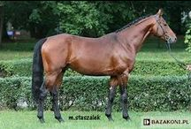 Małopolski / country of origin - Poland | average height 158-165 cm | colours - black, bay/brown, chestnut, dilutes (cream), pinto patterns (tobiano, sabino), appaloosa patterns | uses - general riding, sport horse, driving