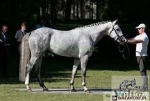 Wielkopolski / country of origin - Poland | average height over 165 cm | colours - black, bay/brown, chestnut, dilutes (cream), pinto patterns (tobiano, sabino), appaloosa patterns | uses - general riding, sport horse, driving