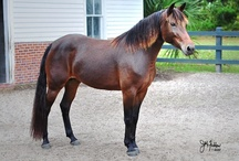 Carolina Marsh Tacky / country of origin - USA | average height 132-152 cm | colours - black, bay/brown, chestnut, dilutes (dun), roan pattern | uses - general riding, trail, endurance, working horse