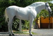 PRE Andalusian / country of origin - Spain | average height ca. 160 cm | colours - black, bay/brown, chestnut, grey, dilutes (cream, pearl, possibly dun) | uses - dressage, driving, mounted bullfight