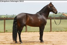 Lusitano / country of origin - Portugal | average height ca. 160 cm | colours - black, bay/brown, chestnut, grey, dilutes (cream, pearl, possibly dun) | uses - dressage, driving, mounted bullfight