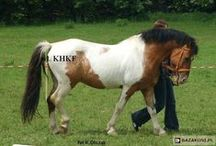 Felin Pony / Feliński Pony / country of origin - Poland | average height 125-136 cm | colours - black, bay/brown, chestnut, dilutes (cream, dun), pinto patterns (tobiano, sabino), appaloosa patterns | uses - children's mount, general riding, driving | It's a relatively new breed, created by crossbreeding Koniks, Huculs, Arabians, Małopolskis, Shetland and Welsh Ponies. The conformation varies. The aim is to create a Polish riding pony breed that would be a smaller version of Małopolski breed.