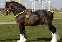 Shire / country of origin - England | average height at least 163 (mares) and 173 (stallions) cm | colours - black, bay/brown, chestnut (rare), grey, sabino pattern | uses - show horse, agricultural work