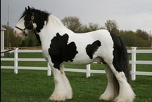 Gypsy Horse / Tinker / country of origin - United Kingdom and Ireland | average height 132-163 cm | colours - black, bay/brown, chestnut, grey, dilutes (cream, silver, pearl), pinto patterns (mainly tobiano and sabino), appaloosa patterns (certain lines) | uses - general riding, driving, show horse