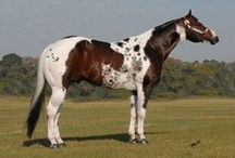 Paint Horse / country of origin - USA | average height 152-162 cm | colours - predominantly pinto patterns (solids are rarely accepted), black, bay/brown, chestnut, grey, dilutes (cream, dun, champagne, rarely silver and pearl), roan pattern | uses - Western riding, show horse, stock horse