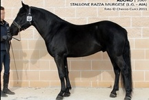 Murgese / country of origin - Italy | average height 150-168 cm | colours - predominantly black, roan pattern | uses - trekking, farm horse