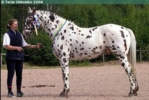 Knabstrupper / country of origin - Denmark | average height 148-165 cm (Sport and Classical types), 105-148 cm (Pony type), under 104 cm (Miniature Pony type) | colours - appaloosa patterns(solid are very rare), black, bay/brown, chestnut | uses - general riding, dressage, show jumping