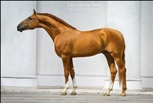 Don / country of origin - Russia | average height 155-160 cm | colours - predominantly chestnut, black, bay/brown, grey | uses - general riding, dressage, show jumping, eventing, endurance