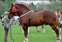 Suffolk Punch / country of origin - England | average height 165-178 cm | colours - uniformly chestnut | uses - agricultural work, show horse