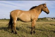 Henson Horse / country of origin - France | average height 150-160 cm | colours - dun dilutes only: grullo, dun, red dun | uses - general riding