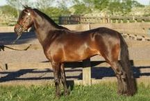 Caspian / country of origin - Iran | average height 100-120 cm | colours - black, bay/brown, chestnut, grey, dilutes (dun), sabino pattern | uses - cart ponies, children's mount, harness pony