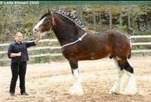 Clydesdale / country of origin - Scotland | average height 163-183 cm | colours - black, bay/brown, chestnut, uniformly sabino pattern | uses - agricultural work, driving, show horse, general riding