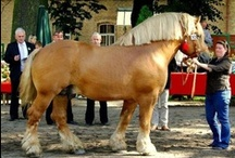 Polish Coldblood / country of origin - Poland | average height ca. 160 cm | colours - black, bay/brown, chestnut, grey, rarely dilutes (dun, possibly silver), minimal sabino pattern, roan pattern | uses - agricultural work, driving, general riding, meat