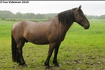 Estonian Native / Klepper / country of origin - Estonia | average height ca. 150 cm | colours - black, bay/brown, chestnut, grey, dilutes (cream, dun, silver), sabino pattern | uses - light agricultural work, general riding