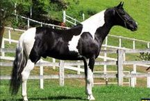 Mangalarga Marchador / country of origin - Brazil | average height 140-157 cm | colours - black, bay/brown, chestnut, grey, dilutes (cream), pinto patterns (tobiano, sabino) | uses - general riding, livestock horse, show horse
