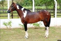 Pampa Horse / country of origin - Brazil | average height 140-150 cm | colours - pinto patterns only (tobiano, sabino), black, bay/brown, chestnut, grey, dilutes (cream) | uses - general riding, livestock horse