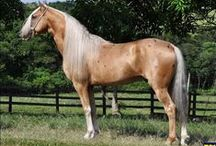 Mangalarga Paulista / country of origin - Brazil | average height 147-157 cm | colours - black, bay/brown, chestnut, grey, dilutes (cream), roan pattern, pinto patterns (tobiano, sabino) | uses - general riding, livestock horse