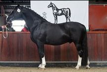 Groninger / country of origin - Netherlands | average height 160-165 cm | colours - predominantly black, bay/brown (darker shades), rarely chestnut or grey, pinto patterns (sabino, tobiano in certain lines) | uses - driving, dressage