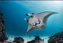 Manta Rays / This place is for sharing your Manta Rays photos or to enjoy Manta Rays pictures posted by underwater photographers and scuba divers. Pin Manta Rays images only and respect copyright. If you wish to be added to this board just follow  it or comment any images and we will send you an invite!