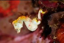 Seahorses / This place is for sharing your Seahorses photos or to enjoy Seahorses pictures posted by underwater photographers and scuba divers. Pin Seahorses images only and respect copyright. If you wish to be added to this board just follow  it or comment any images and we will send you an invite!