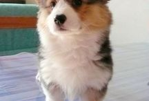 Dogs / ..but mostly corgi