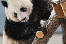 Panda ❤