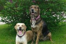 My dogs / Finnish Hound/Golden Retriever mix