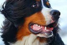 Bernese Mountain Dog ❤️