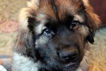 Leonberger dog ❤