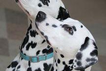 Dalmatian dog ❤